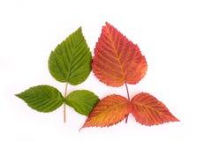 Folhas coloridas no outono gradient isolate Imagem de Stock