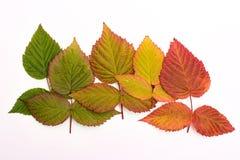 Folhas coloridas no outono gradient isolate Fotos de Stock
