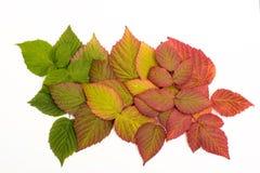 Folhas coloridas no outono gradient isolate Foto de Stock