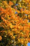 Folhas coloridas no verde, vermelho e alaranjado amarelos. Imagem de Stock Royalty Free