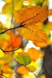 Folhas coloridas que penduram no outono em uma árvore Fotos de Stock
