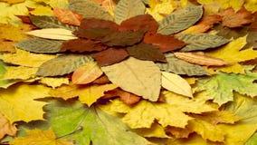 Folhas coloridos Fundo do outono rotação video estoque