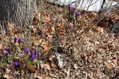 Folhas com açafrão roxo na mola Fotos de Stock
