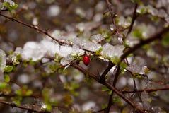 Folhas com baga Fotografia de Stock
