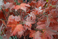 Folhas com brilhos, decoração do vermelho do Natal Imagens de Stock Royalty Free
