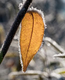Folhas com a escarcha, fotografada após uma noite gelado Fotografia de Stock