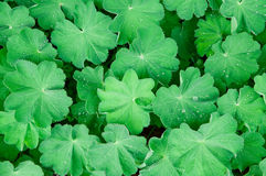 Folhas com gotas Foto de Stock