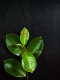 Folhas com gotas da água Foto de Stock Royalty Free