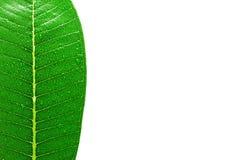 Folhas com gotas da água Foto de Stock