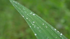 Folhas com gotas da água Pode ser usado como o fundo filme