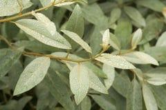 Folhas com pingos de chuva Fotos de Stock Royalty Free