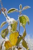 Folhas com rime Fotografia de Stock