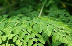 Folhas comestíveis de moringa Imagens de Stock