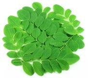 Folhas comestíveis frescas de moringa Imagem de Stock