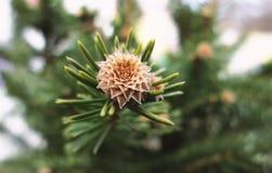 Folhas coníferas verdes macro com fundo obscuro fotografia de stock royalty free