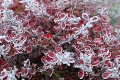 Folhas congeladas Imagens de Stock