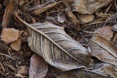 Folhas congeladas Imagem de Stock