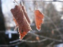 Folhas congeladas 2 Fotografia de Stock