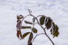 Folhas congeladas Imagem de Stock Royalty Free