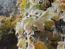 Folhas congeladas Fotos de Stock Royalty Free