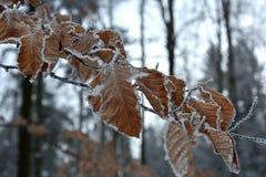 Folhas congeladas da faia Fotografia de Stock Royalty Free