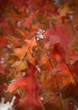 Folhas congeladas da queda Imagens de Stock Royalty Free