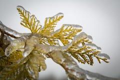 Folhas congeladas do abeto Imagens de Stock Royalty Free