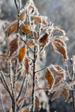 Folhas congeladas do amarelo foto de stock royalty free