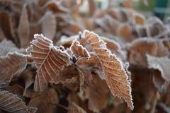 Folhas congeladas no inverno Imagem de Stock