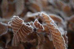 Folhas congeladas no inverno Foto de Stock Royalty Free