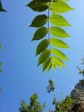 Folhas contra o sol Fotografia de Stock