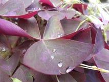 Folhas cor-de-rosa Imagens de Stock