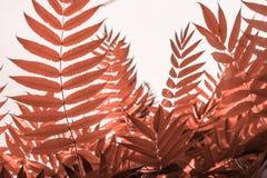 Folhas corais da cor foto de stock royalty free