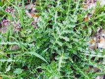 Folhas cravadas da planta verde no prado selvagem Imagens de Stock Royalty Free