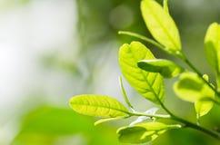 Folhas crescendo do limão fotos de stock royalty free
