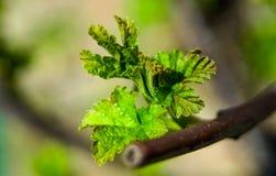 Folhas crescentes novas do corinto que começam que crescem na mola Imagens de Stock