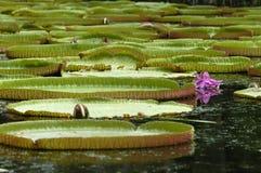 Folhas da água em Maurícia Fotos de Stock Royalty Free