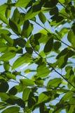 Folhas da árvore Imagem de Stock