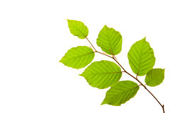 Folhas da árvore Foto de Stock