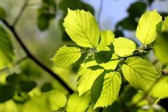 Folhas da árvore Imagens de Stock