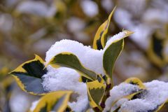 Folhas da árvore cobertas na neve Imagens de Stock Royalty Free