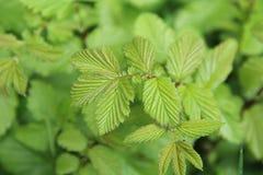 Folhas da árvore de amieiro Imagens de Stock Royalty Free