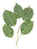 Folhas da árvore de Apple isoladas Fotos de Stock