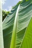 Folhas da árvore de banana Fotos de Stock Royalty Free