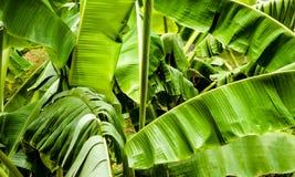 Folhas da árvore de banana Fotografia de Stock