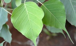 Folhas da árvore de Bodhi Fotografia de Stock