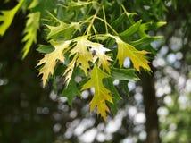 Folhas da árvore de bordo Imagens de Stock Royalty Free