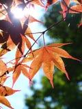Folhas da árvore de bordo, Canadá Foto de Stock