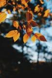 Folhas da árvore de bordo da cor da queda fotografia de stock