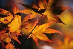 Folhas da árvore de bordo japonês Imagem de Stock Royalty Free